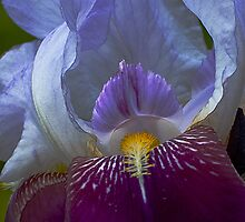 Purple Iris of May by Dennis Rubin IPA