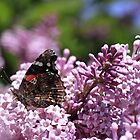 Butterfly In The Lilacs by jenndes