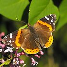 Red Admiral On A Lilac by Tracy Faught