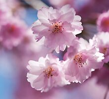 cherry blossom pink by Skye Hohmann