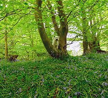 Zeta my westie in bluebell woods  by wizard327