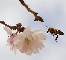Bee in the pink by darebouche