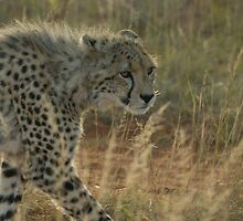 Cheetah, Shamwari reserve, South Africa by saradearden