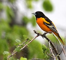 Baltimore Oriole. by Erik Anderson