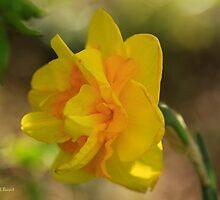 Double Daffodil by Deborah  Benoit