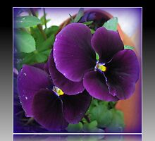 Purple Velvet - Pansies with Raindrop Jewels in Reflection Frame by BlueMoonRose
