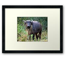 Female Buffalo With Necklace Framed Print