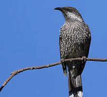 Little Wattlebird by Jeremy Weiss
