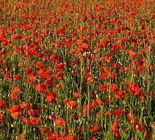Poppys - Winchelsea, East Sussex, 2009 by Dan Bevan Photography