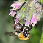 bee on comfrey by Grandalf