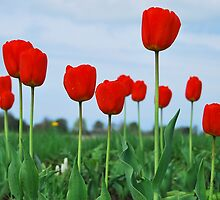 Tulip parade by marco10