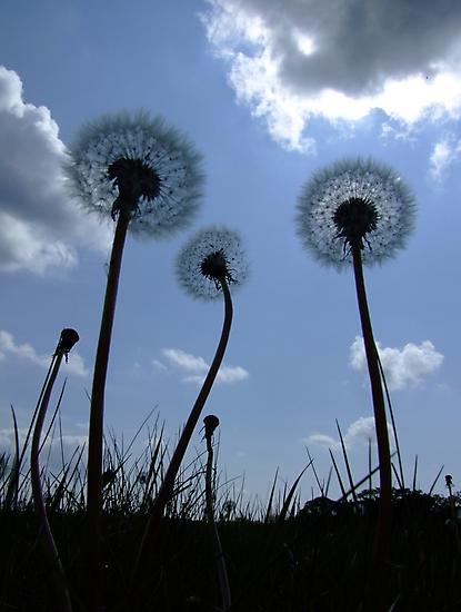 Dandelions by Samantha Higgs