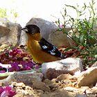 Black-headed Grosbeak ~ Male (breeding) by Kimberly Chadwick