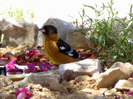 Black-headed Grosbeak ~ Male (breeding) by Kimberly Chadwick