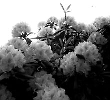 Flowers, Black & White by ShanaLynn