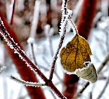 Frosted Leaf by kenspics