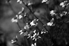 Black and White Cute Flowers by Denis Marsili