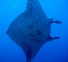 Manta Ray - Manta birostris by calummaimages