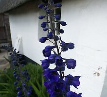 Delphinium blue by BronReid
