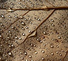 Autumn Leaves - Tulip Tree Dew by Adrian S. Lock