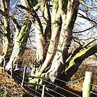 November sunlight on bare trees by Ian Lyall