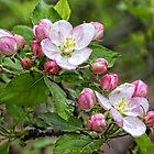 Apple Blossoms by Shonda Hogan