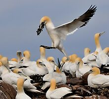 gannet: the take away arrives by Grandalf