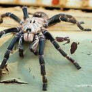 HORNED BABOON SPIDER - Ceratogyrus brachycephalus by Magaret Meintjes