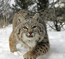 Bobcat by mrshutterbug