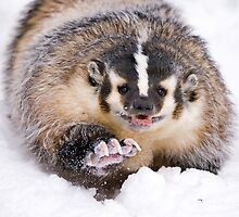 American Badger by mrshutterbug