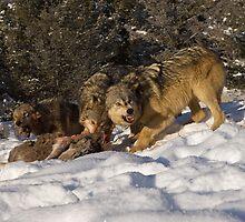 Wolf Pack feeding On Elk by mrshutterbug