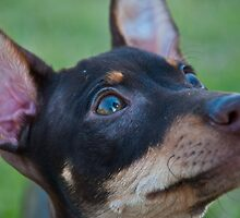 Min Pin Portrait by Terry Runion