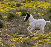 Wild Mustang Foal by Kathy Cline