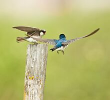 Swallow Love Talk by David Friederich