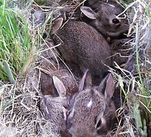 2 Week Old Baby Bunnies in Nest by Barberelli