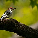 Red Bellied Woodpecker - Hamilton, Ontario by Michael Cummings