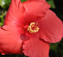 hibiscus 2 by cetrone