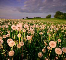 Dandelion Clocks by Angie Latham