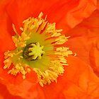 eye popping orange poppy by reneecettie