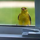 Little Bird on the Window Sill by Brian Gaynor