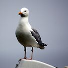 Herring Gull   (Larus argentatus) by larry flewers