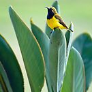 Sunbird by Janette Rodgers