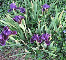Purple Iris Patch of Glory by MarianBendeth