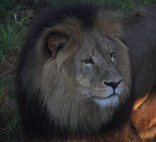 lion by ashara