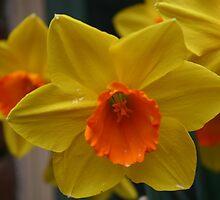 Daffodil In Spring by annie53