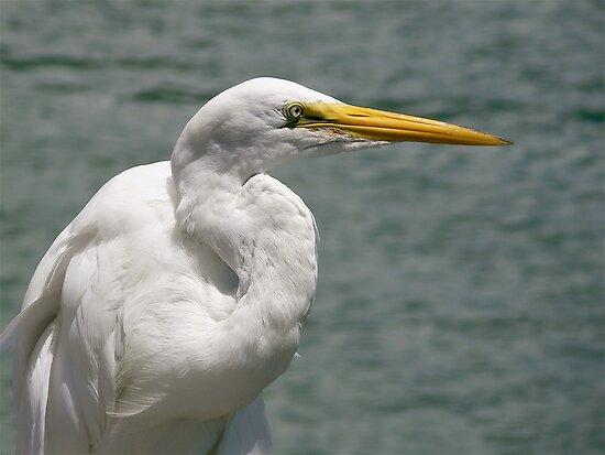 Great Egret by Jeff Clark
