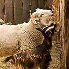 a sheep and a goat by cesanciano
