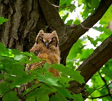Great Horned Owlet by John Absher