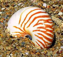 Nautilus shell on the beach. Mission Beach by N8turesGifts