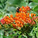 Butterfly Weed - Asclepias tuberosa by Lee Hiller-London